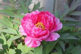 peony flower delivery digital photography tree peony flower