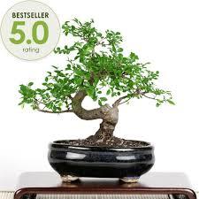 bonsai elm bonsai tree from easternleaf