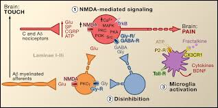 cellular and molecular mechanisms of pain cell