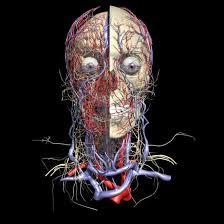 webanatomy cardiovascular