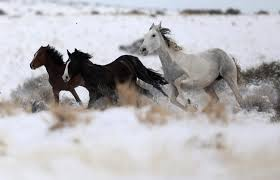 Wild Horses In America Map by Wild Horses Could Be Sold For Slaughter In Trump Budget Plan Pbs