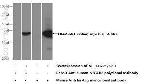 necab2 antibody 12257 1 ap proteintech
