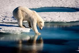 polar bears face shorter sea ice season nasa