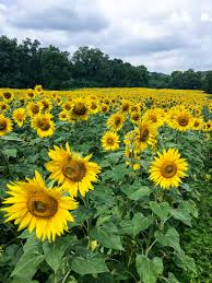 The Most Amazing Sunflower Field You Will Ever See Duke Manor Farm