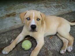 afghan hound and labrador retriever more about the labrador retriever husky mix dogable
