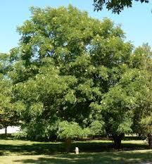 missouri native plant nursery kentucky coffee tree native plant at canadale canadale nurseries