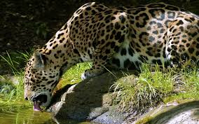 pc bureau sur mesure pc bureau sur mesure 17 fond ecran leopards boit herbe verte