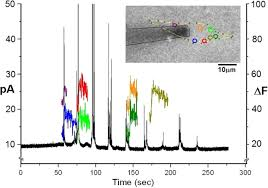 spatiotemporal resolution of mast cell granule exocytosis reveals