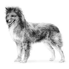 australian shepherd illustration pyrenean shepherd dog breed information american kennel club