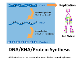 dna rna protein synthesis replication cell division