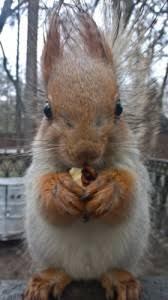 Dramatic Squirrel Meme - create meme elses elses squirrel animal pictures meme