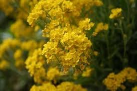 gold flowers basket of gold plant care how to grow basket of gold flowers