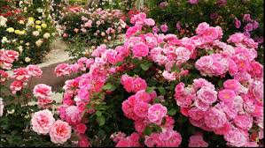 colorful roses paradise stunning colorful roses and most beautiful flower garden