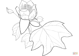 tulip poplar flower and leaf coloring page free printable