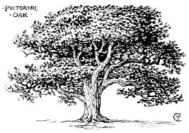 pics for line drawing oak tree trees and nature sketches