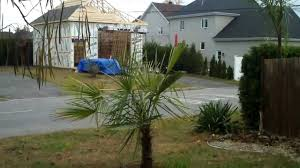 cold hardy palm tree near montreal canada zone 5a youtube