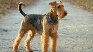 affenpinscher brown 20 dog breeds for allergy sufferers