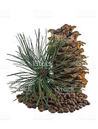 white pine cone siberian pine cones and nutlets stock photo 607266936 istock