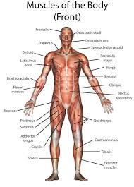 Human Body Picture Portal Human Body New Anatomy Of A Person At Best Anatomy Learn