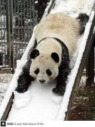 Panda Mascara Meme - 67 best bears panda images on pinterest panda bears pandas