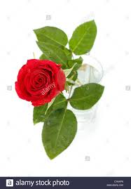 single dark red rose in glass top view isolated on white stock