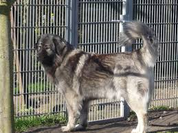 australian shepherd welpen 4 monate kaukase welpen rassehunde hunde welpen haustier anzeiger