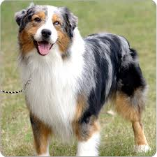 australian shepherd herding sheep shepherd dogs nfmak