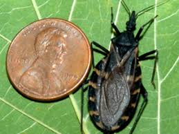 Alabama Travel Bug images Deadly 39 kissing bug 39 turns up in georgia reports decatur ga patch jpg