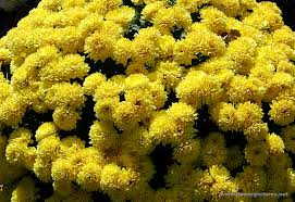 pictures of flowers garden mums
