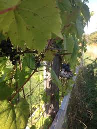 wild grape wine u2013 wild grape vineyards