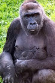 Gorilla by Gorilla Zooborns