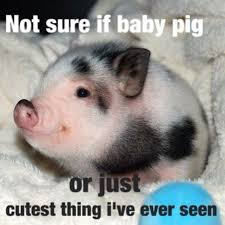 Cute Baby Memes - 32 very funny pigs meme photos and pictures