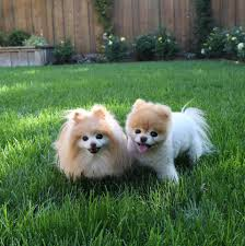 buddy and boo playing in the backyard boo pinterest
