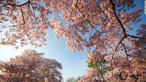 cherry blossoms reach their peak in washington d c cnn travel