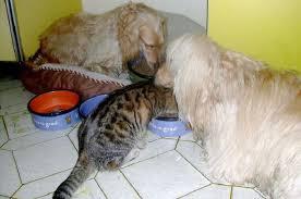 alimentazione casalinga gatto alimentazione casalinga gatto vantaggi e svantaggi