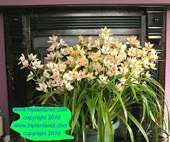 Orchid Plants Triplantanol Orchid
