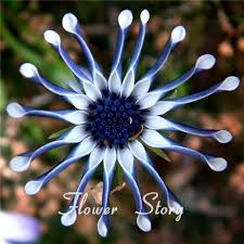 Free Shipping Flowers Aliexpress Com Buy Free Shipping 50 Blue Daisy Hardy Plants
