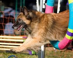 belgian sheepdog akc dogbreedz photo keywords belgian tervuren