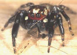 Are Spiders Attracted To Light Vampire Spider Drawn To The Smell Of Human Feet Not Exactly