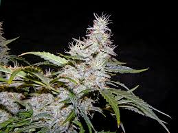 growing autoflower with led lights led grown northern light auto cola northern light autoflower