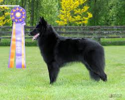 belgian sheepdog breeders in ohio 2013 oconomowoc wi belgian sheepdog club of america