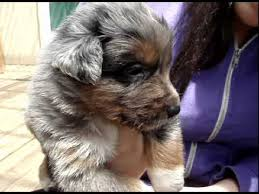 australian shepherd puppies 7 weeks australian shepherd blue merle puppy 5 weeks old youtube