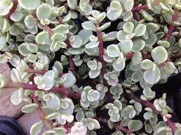 Succulent Plant Succulent Plant Rainbow Elephant Bush Beautiful Shrubby