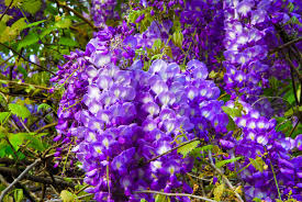 Wisteria Meaning | wisteria flower meaning flower meaning