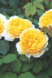 old english rose varieties to grow hgtv