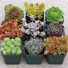Rock Garden Succulents Rock Garden Hardy Succulent Collection 9 Rock Gardens And