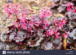 flowers in november dark foliage and bright pink november flowers of the woodland stock