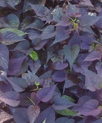 ornamental sweet potatoes gardendrumgardendrum in my garden