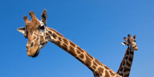 bbc earth giraffes may not have evolved long necks to reach