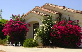 plants native to arizona bougainvillea is a genus of flowering plants native to south